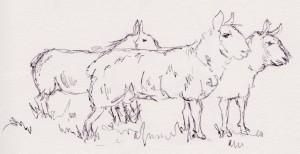 sheeps 001