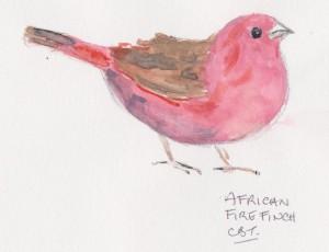 African firefinch 001