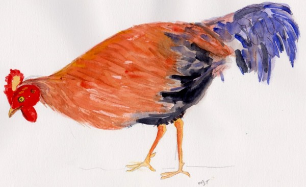 jungle fowl 001
