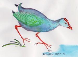 moorhen 001