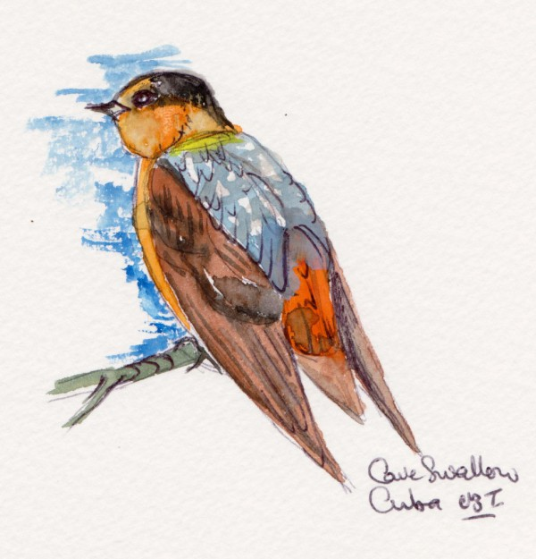 cuban swallow 001