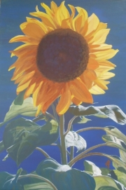 mandy broughton sunflower