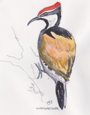 woodpecker india 001