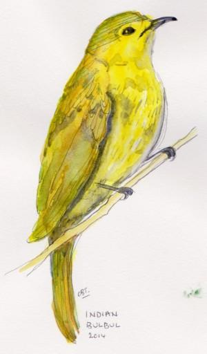 yellow bulbul 001